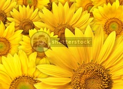 shutterstock sunflower